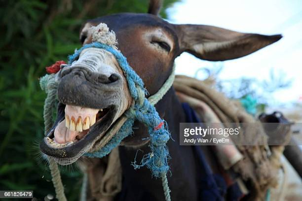 close-up of donkey - jackass images stock pictures, royalty-free photos & images