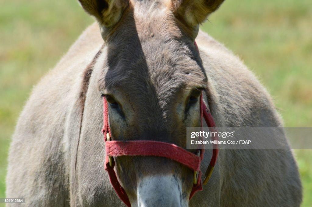 Close-up of donkey : Stock Photo