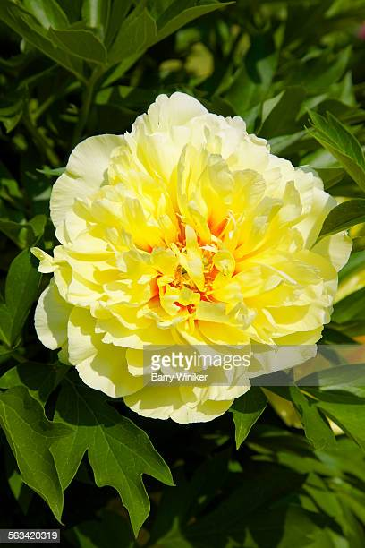Close-up of double intersectional peony