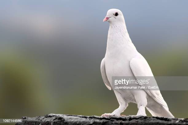 close-up of dove on wall - colombe photos et images de collection