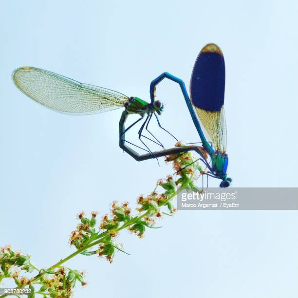 close-up of dragonflies mating on flower - accouplement animal photos et images de collection