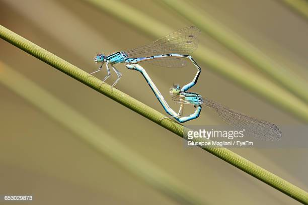 close-up of dragonflies mating on plant - accouplement animal photos et images de collection