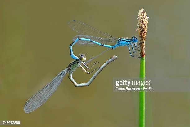 close-up of dragonflies mating on plant - begattung kopulation paarung stock-fotos und bilder