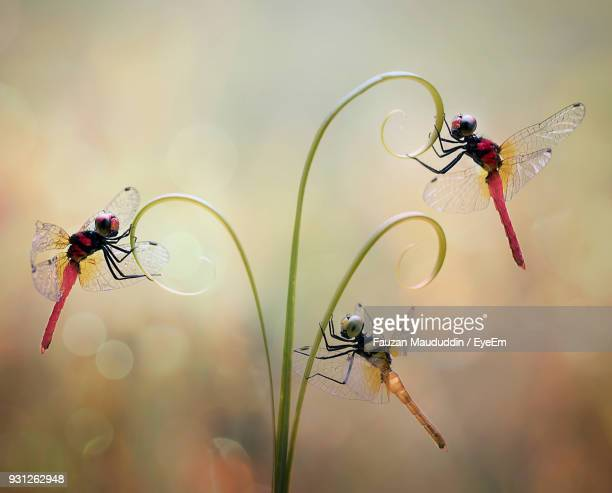 Close-Up Of Dragonflies On Plant