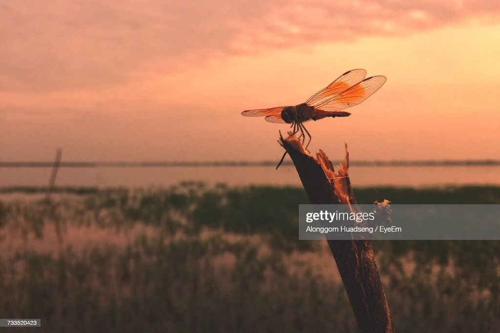 Close-Up Of Dragonfly During Sunset : Stock Photo