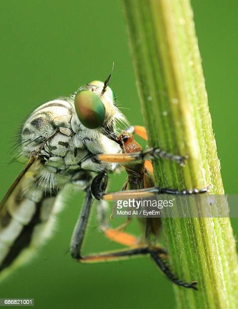Close-Up Of Dragonfly Hunting Insect On Plant