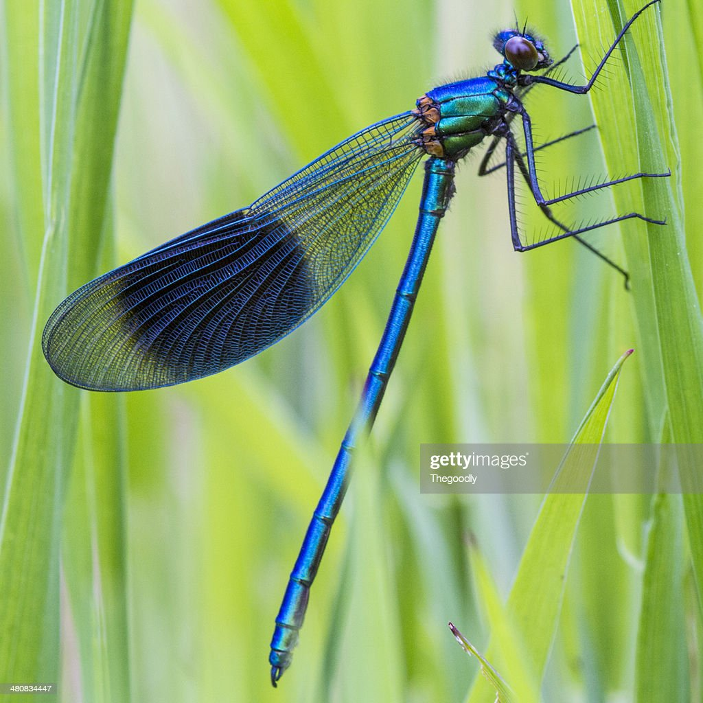 Close-up of dragonfly on blade of grass : Stock Photo