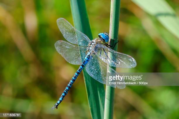 close-up of dragonfly on plant, oberhausen-rheinhausen, germany - images stock-fotos und bilder