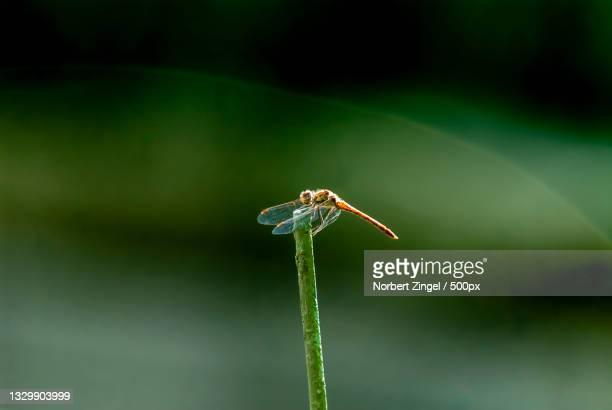 close-up of dragonfly on plant,gelsenkirchen,germany - norbert zingel stock-fotos und bilder