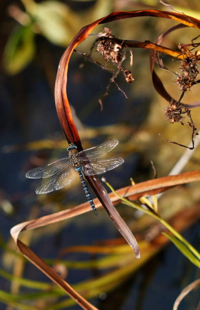 Close-up of dragonfly on plant,Schoten,Vlaanderen,Belgium