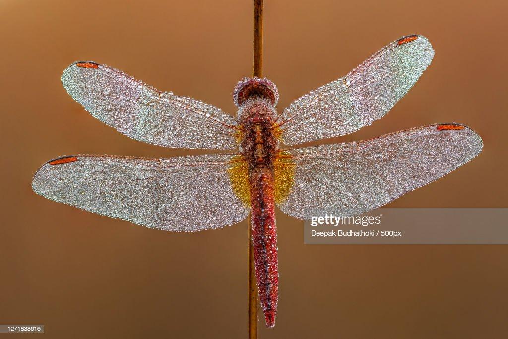 Close-Up Of Dragonfly On Red Flower, Kathmandu, Nepal : Stock Photo