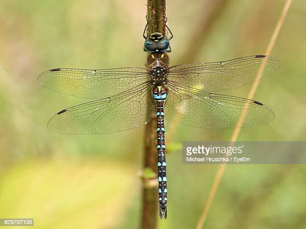 close-up of dragonfly on twig - michael hruschka stock pictures, royalty-free photos & images