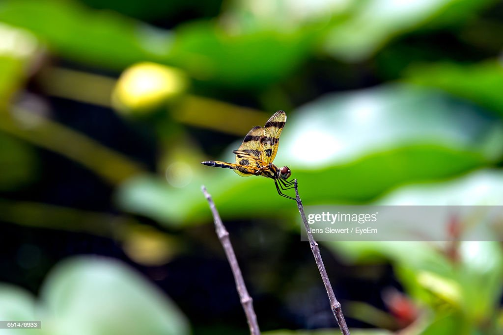 Close-Up Of Dragonfly On Twig : Stock Photo