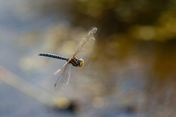 Close-up of dragonfly on twig,Flanders Moss,Stirling,United Kingdom,UK
