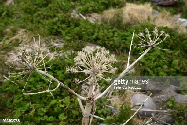 Close-up of dried Angelica plant at Vardø, Northen Norway