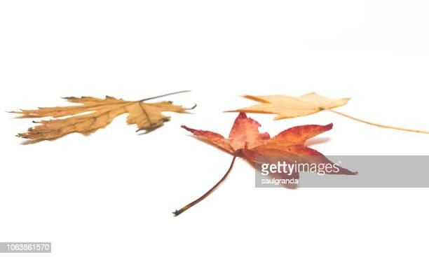 close-up of dried leaves in autumn against white - seco fotografías e imágenes de stock
