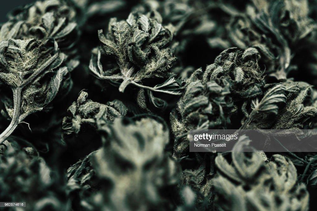Close-up of dried marijuana leaves : Stock Photo