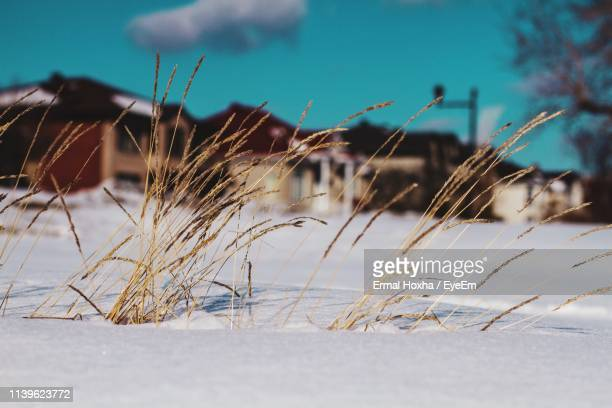 close-up of dried plants on snowcapped field against sky - gras stock pictures, royalty-free photos & images