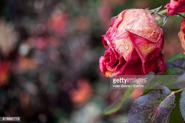 Close-Up Of Dried Rose Against Blurred Background