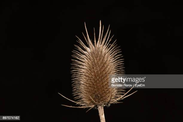 Close-Up Of Dried Thistle Against Black Background