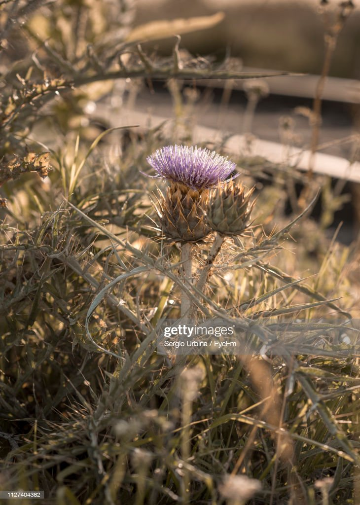 Close-Up Of Dried Thistle On Field : Stock Photo