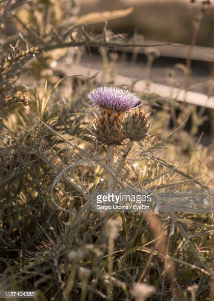 Close-Up Of Dried Thistle On Field