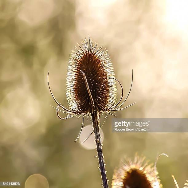 close-up of dried thistle - st. albans stock pictures, royalty-free photos & images