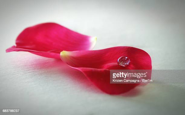 Close-Up Of Drop On Rose Petal