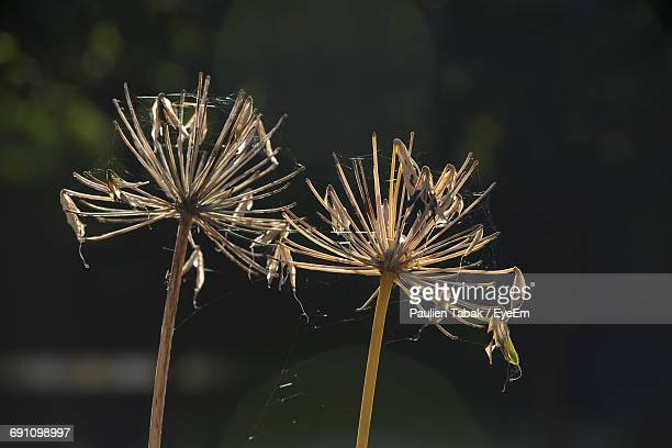 Close-Up Of Dry Dandelion Seeds