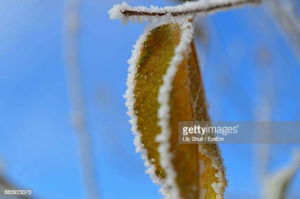 Close-Up Of Dry Frozen Leaf
