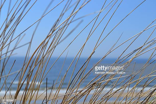 Close-up of dry grass against blue sea