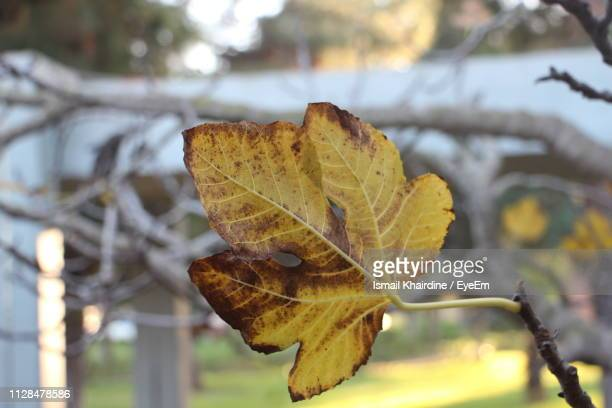 close-up of dry leaf on tree during autumn - ismail khairdine stock photos and pictures