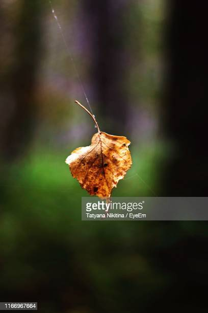 close-up of dry leaf - nikitina stock pictures, royalty-free photos & images