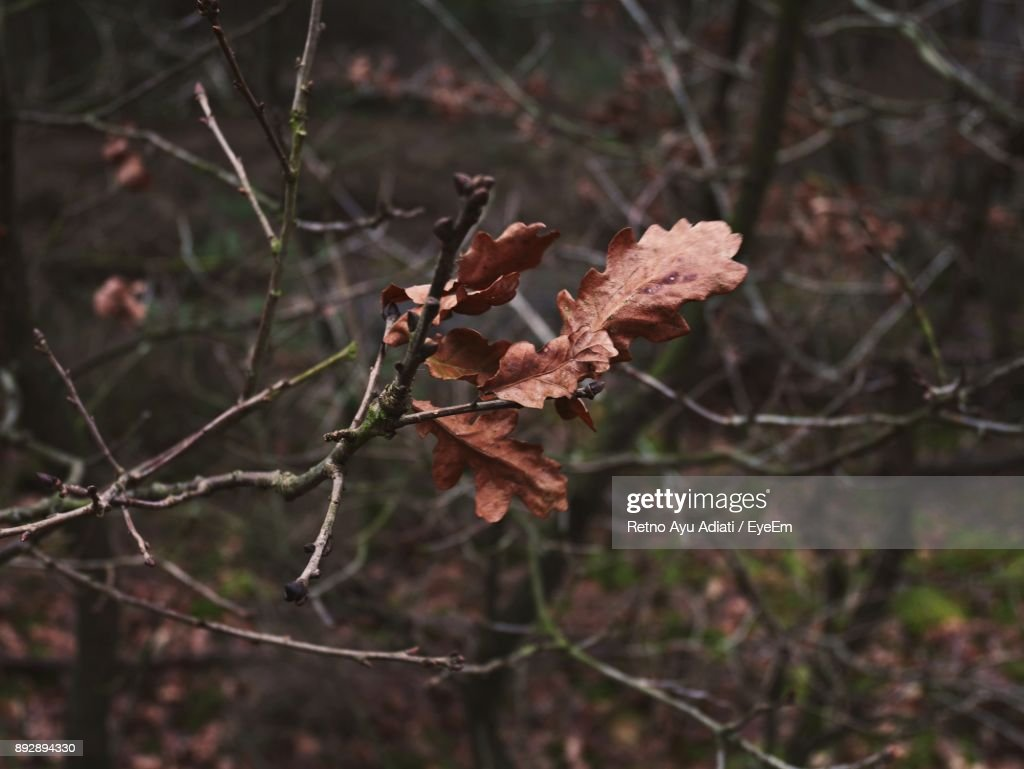 Closeup Of Dry Leaves On Branch Stock Photo - Getty Images