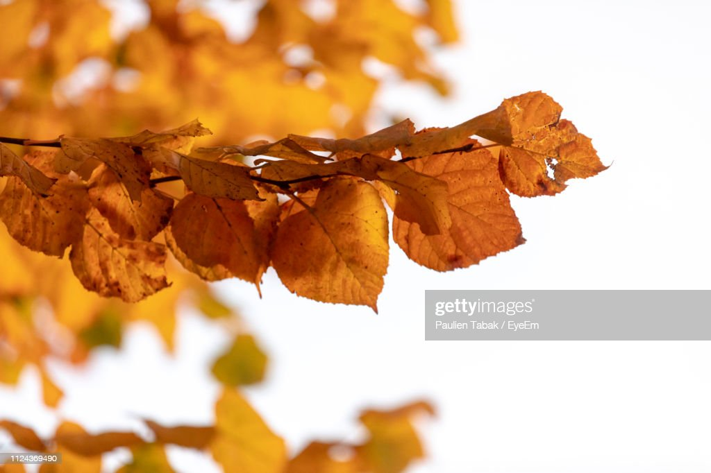 Close-Up Of Dry Leaves On Tree During Autumn : Stockfoto
