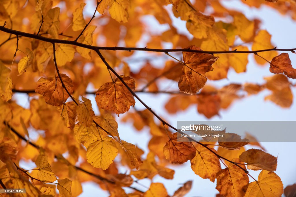 Close-Up Of Dry Leaves On Tree : Stockfoto