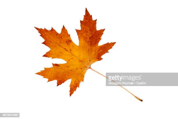 close-up of dry maple leaf against white background - maple tree stock pictures, royalty-free photos & images