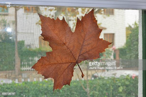 Close-Up Of Dry Maple Leaf On Net Window