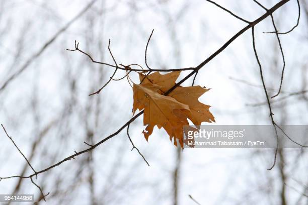 close-up of dry maple leaves on branch - bare tree stock pictures, royalty-free photos & images
