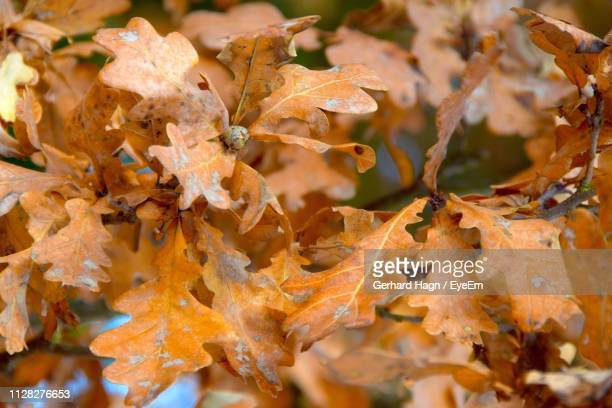 Close-Up Of Dry Maple Leaves On Plant