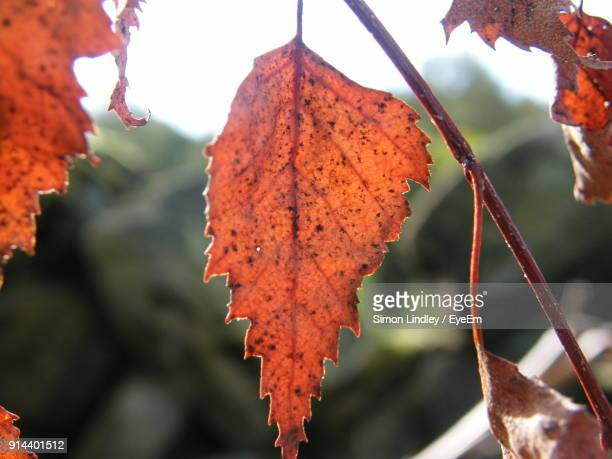 Close-Up Of Dry Maple Leaves On Tree