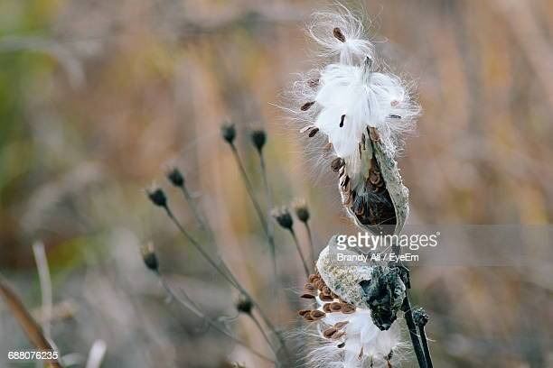 close-up of dry milkweed - milkweed stock pictures, royalty-free photos & images