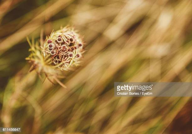close-up of dry plant on field - bortes cristian stock photos and pictures