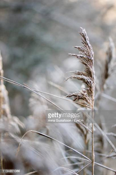close-up of dry plants during winter - vaxjo stock pictures, royalty-free photos & images