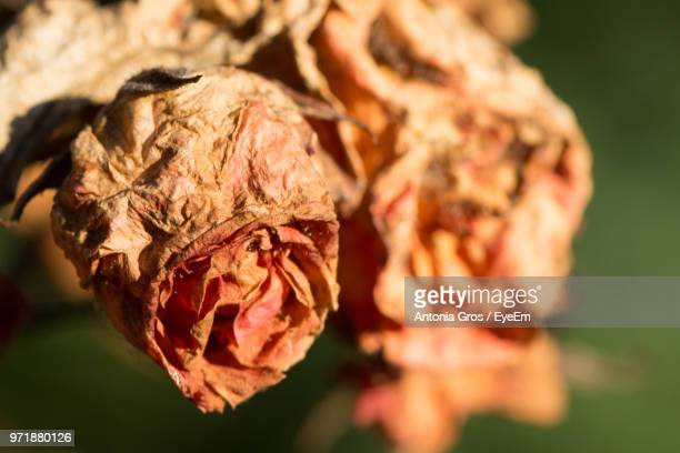 Close-Up Of Dry Roses