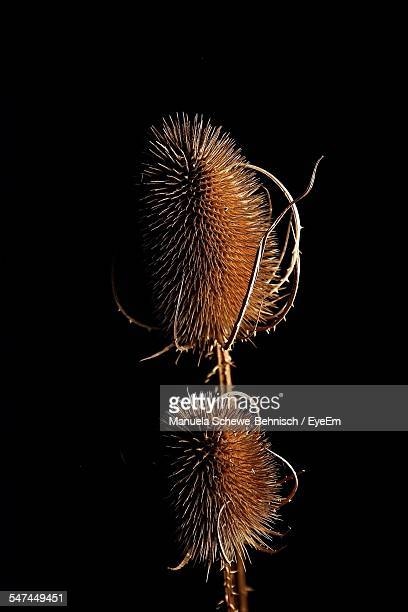 Close-Up Of Dry Teasel Against Black Background