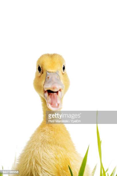 close-up of duck against white background - canard photos et images de collection