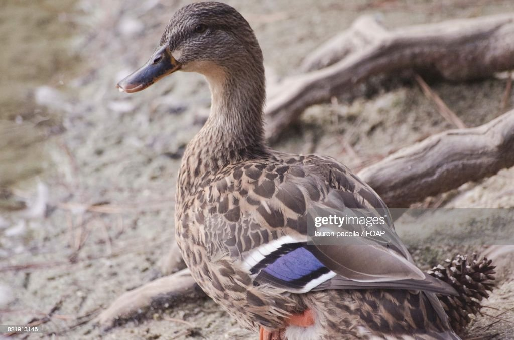 Close-up of duck at lakeshore : Stock Photo