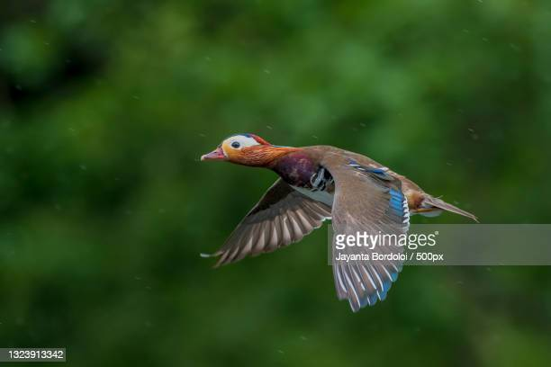 close-up of duck flying outdoors,london,united kingdom,uk - animal body part stock pictures, royalty-free photos & images