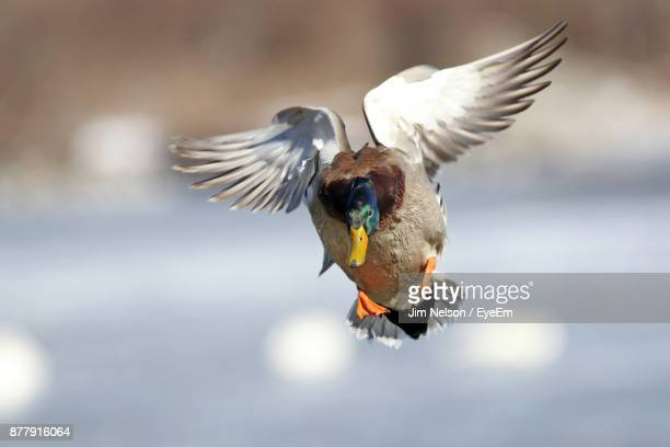 Close-Up Of Duck Flying Over Lake
